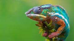 Colorful Chameleon 23641