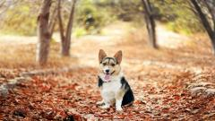 Corgi Wallpaper HD 38262