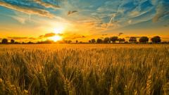 Cornfield Sunset 21316