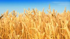 Cornfield Wallpaper 21309