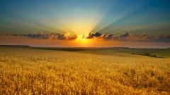 Cornfield Wallpaper 21315