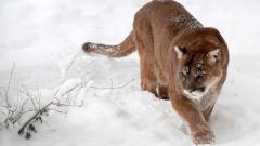 Cougar 24712