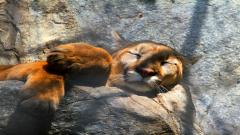 Cougar Wallpaper 24716