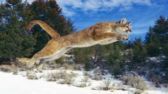 Cougar Wallpaper 24719