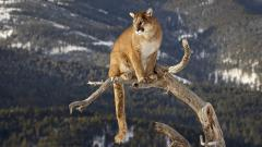 Cougar Wallpapers 24713