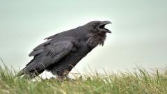 Crow Wallpaper 35493