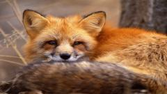 Cute Baby Fox Wallpaper 34463