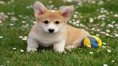 Cute Corgi 38268