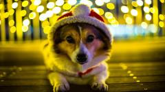 Cute Corgi Wallpaper 38261