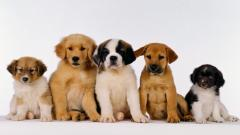 Cute Puppies 19980