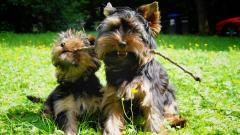 Cute Yorkie Wallpaper 24223