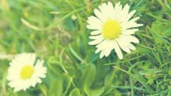 Daisy 22199