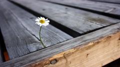Daisy Background 22192