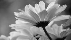 Daisy Wallpaper 22182