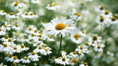 Daisy Wallpaper 22189