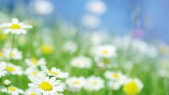 Daisy Wallpaper 22190