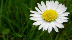 Daisy Wallpaper 22193