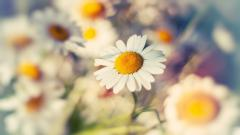 Daisy Wallpaper 22195