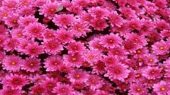 Dark Pink Flowers 27824