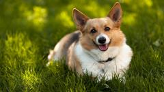 Fantastic Corgi Wallpaper 38260