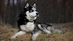 Fantastic Husky Wallpaper 43724
