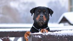 Fantastic Rottweiler Wallpaper 38277