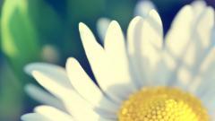 Flower Petals 25870