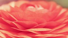 Flower Petals 25888