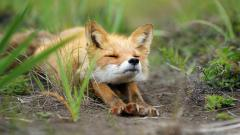 Free Baby Fox Wallpaper 34467