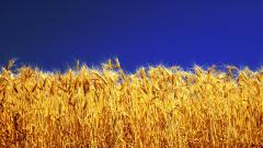 Free Barley Wallpaper 35385
