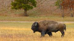 Free Bison Wallpaper 30864