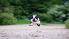 Free Boston Terrier Wallpaper 21295