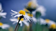 Free Chamomile Wallpaper 20232