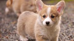 Free Corgi Wallpaper 38263