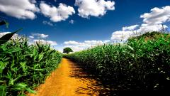 Free Cornfield Wallpaper 21313