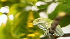 Free Green Frog Wallpaper 33409