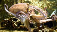 Free Octopus Wallpaper 19428