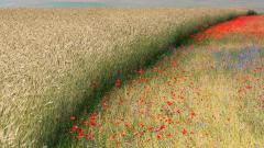 Free Poppy Field Wallpaper 32143