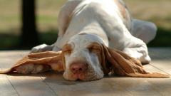 Free Sleeping Dog Wallpaper 40230