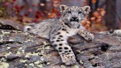 Free Snow Leopard Wallpaper 21007