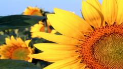 Free Sunflower Pictures 26849