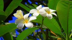Free Tropical Flowers Wallpaper 21674