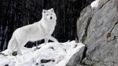 Free White Wolf Wallpaper 19861