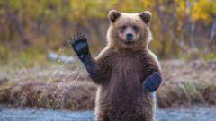 Funny Bear Wallpaper 41929
