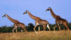 Giraffe Wallpaper 11449