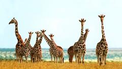 Giraffe Wallpaper 11450