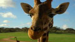 Giraffe Wallpaper 11451