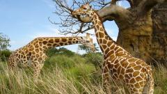 Giraffe Wallpaper 11452