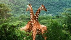 Giraffe Wallpaper 11453