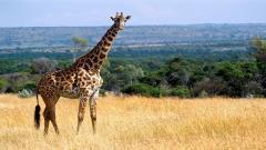 Giraffe Wallpaper 11455